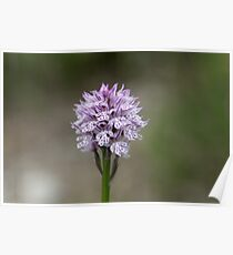 Flower of a three-toothed orchid (Neotinea tridentata) Poster