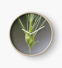 Ovate goatgrass (Aegilops geniculata) Clock