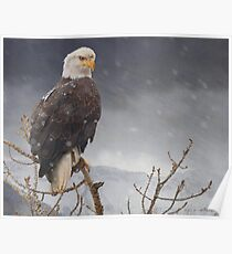 bald eagle-- snow flurry Poster