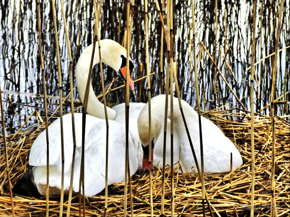 Swans Nesting HDR by Dfilmuk Photos