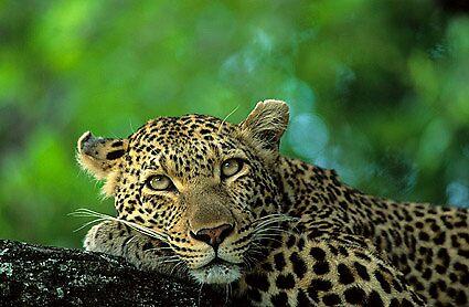 leopard by jaqi