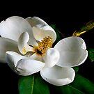 Magnolia grandiflora by Jonicool