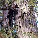 Marten In A Cedar Tree by Stephen Thomas