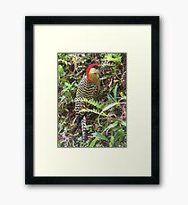 Cuban woodpecker Framed Print