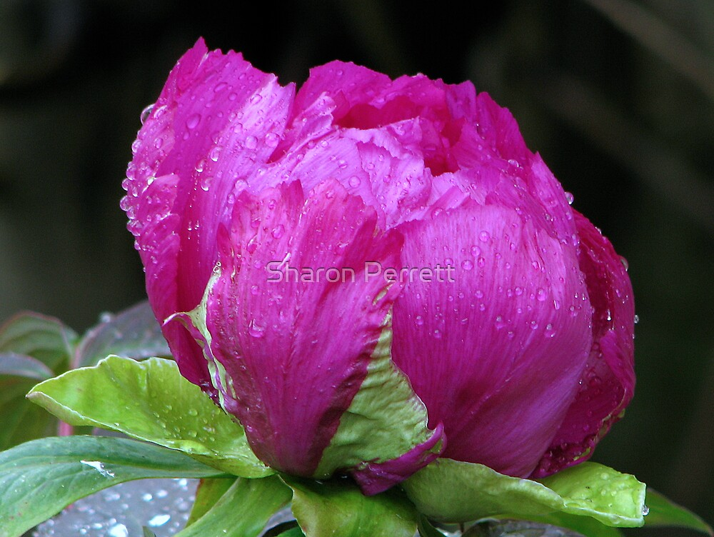 Perfectly Pink Peony by Sharon Perrett