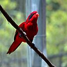 Blue-Streaked Lory by Cynthia48