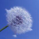Dandelion by MSArt
