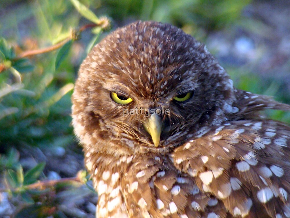 Burrowing Owl by pattysole