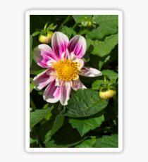 Pink Dahlia Close-up Sticker