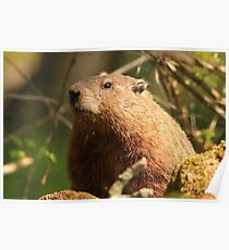 Close Encounter with a Groundhog Poster