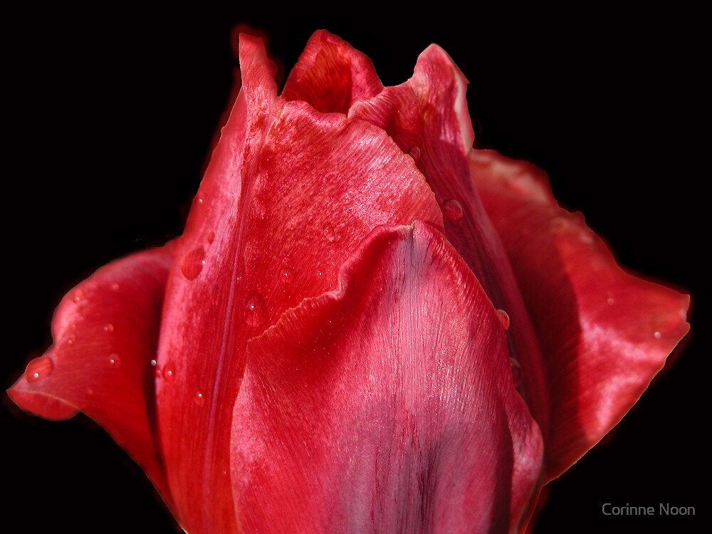 A Shiny Red Tulip by Corinne Noon