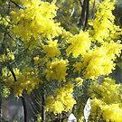 Australian Wattle by Judy Woodman