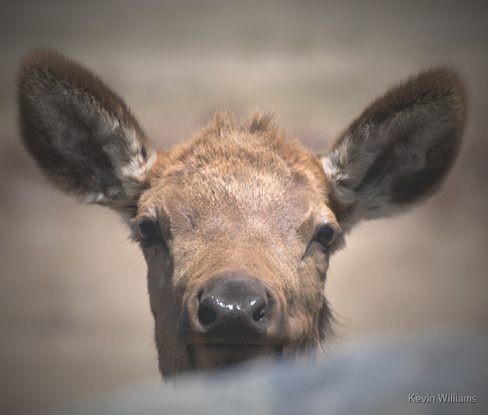 elk calf peek-a-boo by Kevin Williams