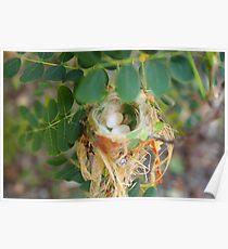 Humming birds nest  Poster