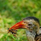 "THE ""LUNCH BREAK"" REDBILLED HORNBILL by Magriet Meintjes"