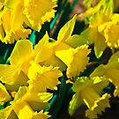 Daffodils by KaiserSoser
