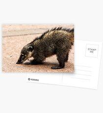 Coati - Nose to the Ground Postcards