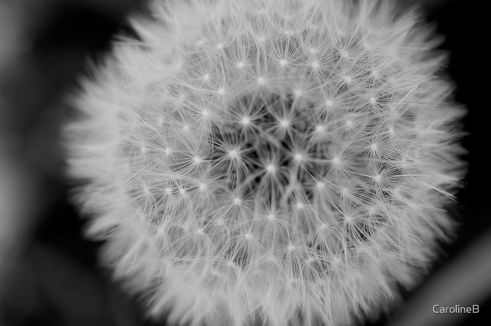 Dandelion  by CarolineB