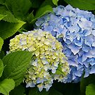 Nikoblue Hydrangea at Marble House by jenndes