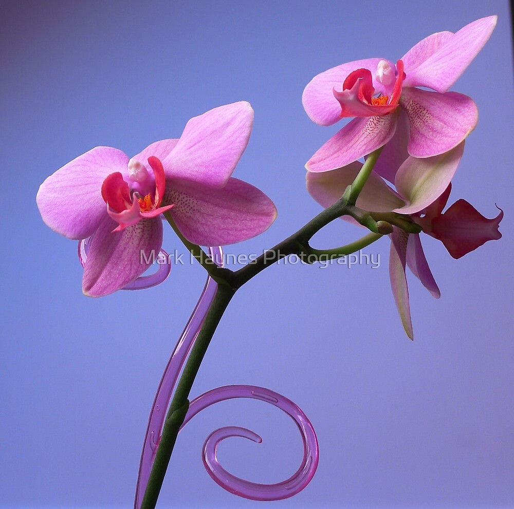 Orchid by Mark Haynes Photography