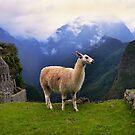 Llama at Machu Picchu by Catherine Sherman