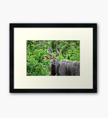 NYALA - Tragelaphus angasii Framed Print