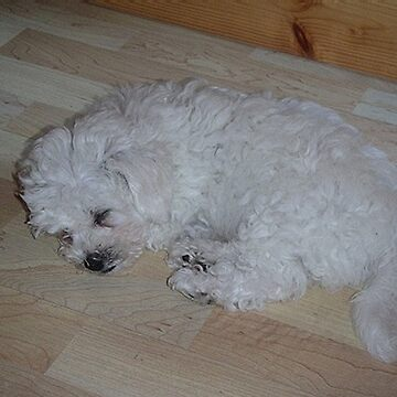 bichon frise puppy sleeping by marasdaughter