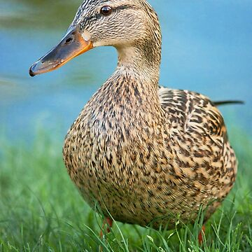 Lady Mallard by domcia