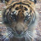 Tiger in the rain by Ben de Putron