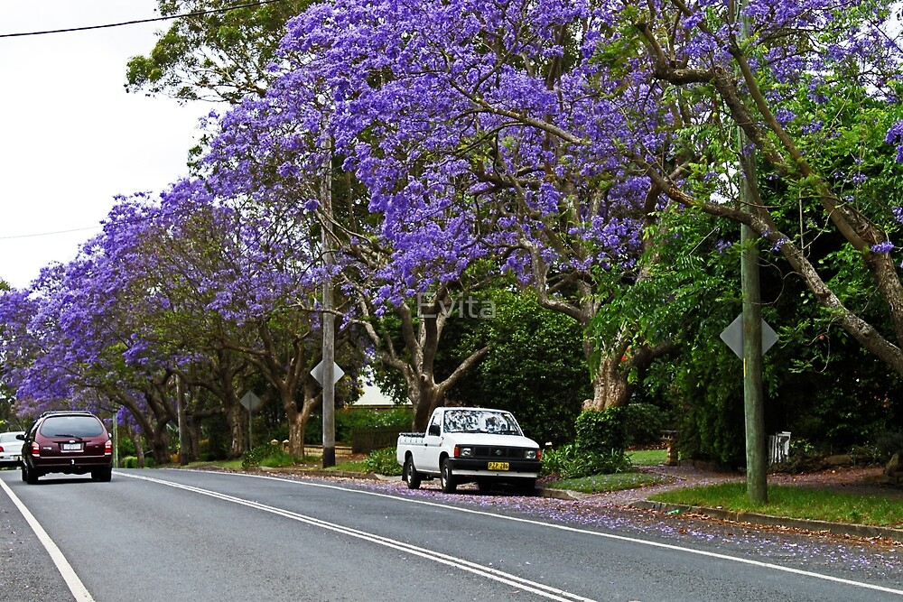 Jacaranda In Bloom by Evita