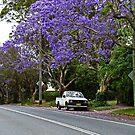 Jacaranda in voller Blüte von Evita