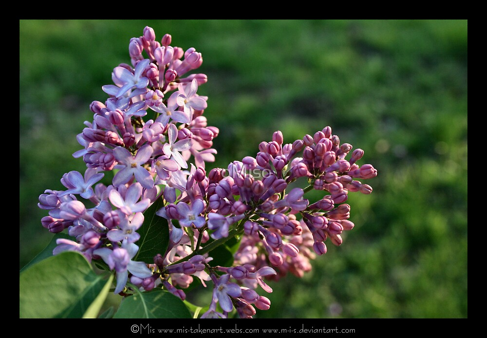 .. Lavender Lilacs .. by oMiso