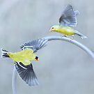 Goldfinches by Laurie Minor