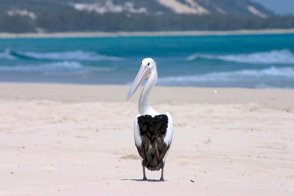 Beach Pelican by Matt Corr