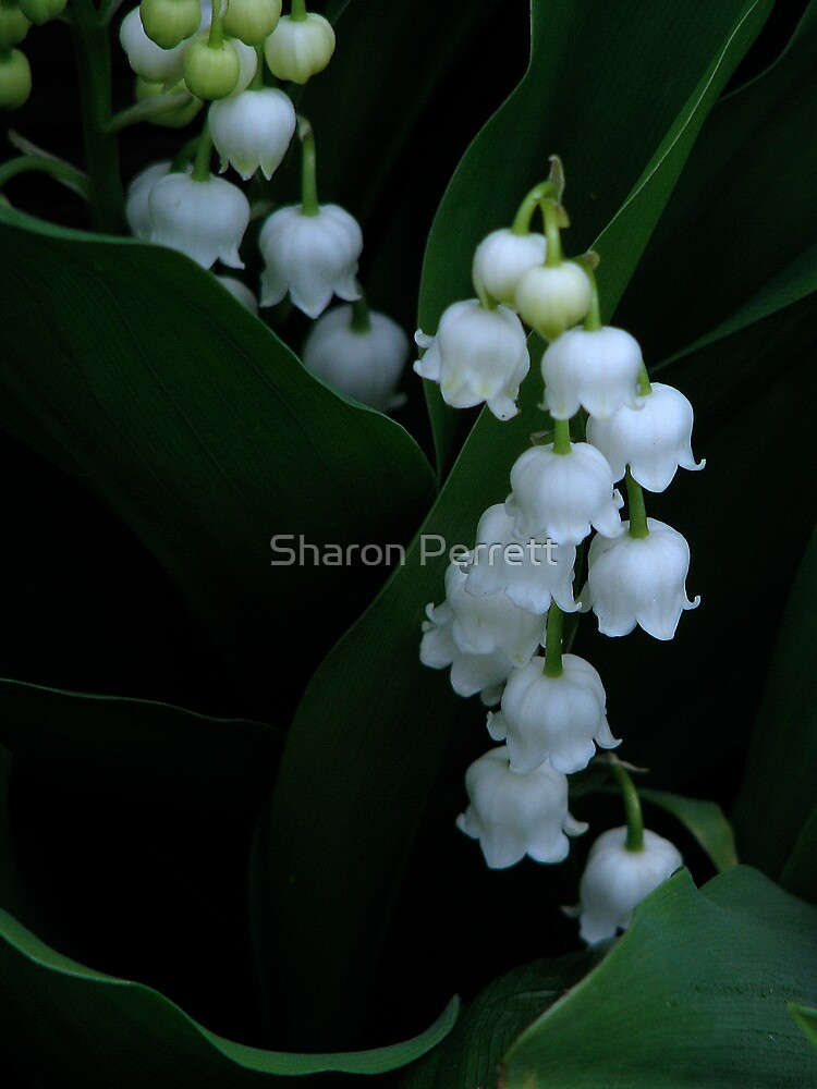Lily of the Valley by Sharon Perrett