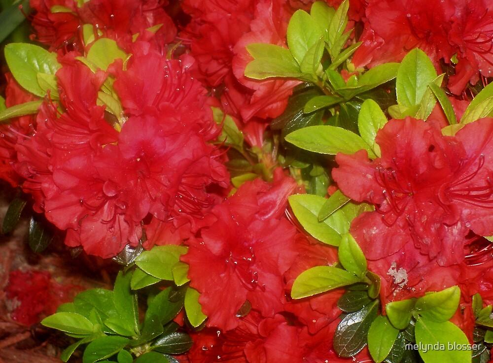 red  azaleas by melynda blosser