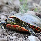 The Painted Turtle by Alyce Taylor