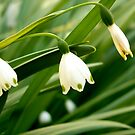 snowdrops by Jan Stead JEMproductions