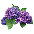 Purple Hydrangea by Susan Savad