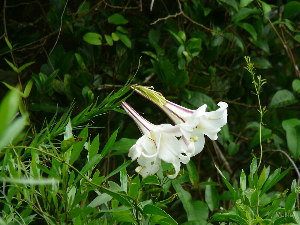 white lillies, Lord Howe Island Collection by Maike