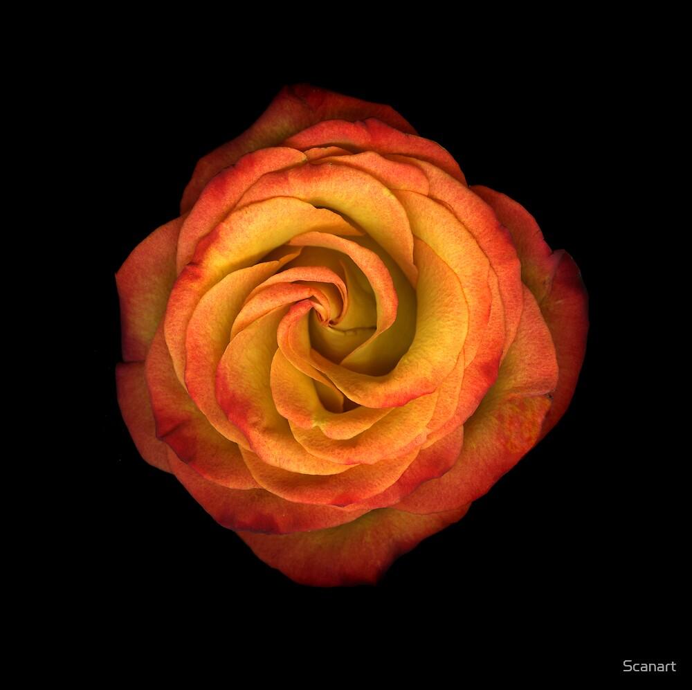 La Vie En Rose by Scanart