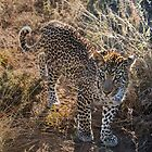 Beauty of  the  Leopard by Richard Shakenovsky