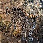 Schönheit des Leoparden von Richard Shakenovsky
