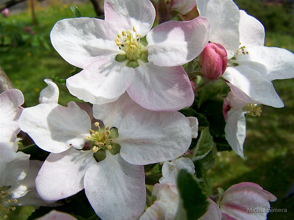 apple flowers by Michal Šimera