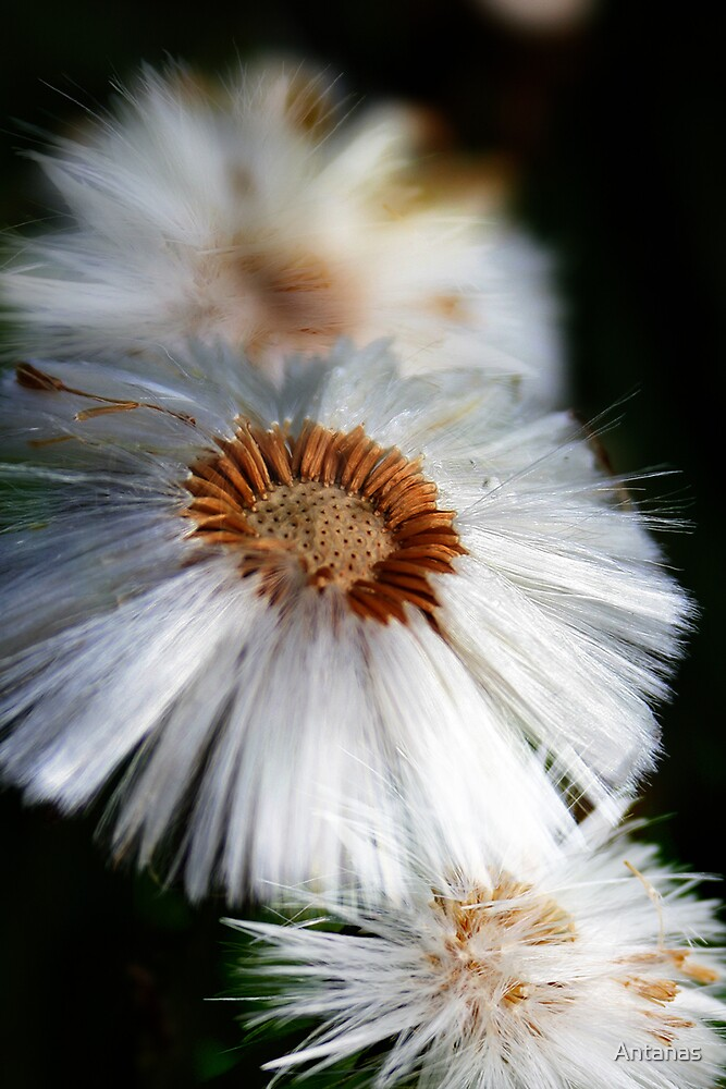 White flowers by Antanas