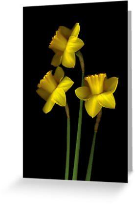 Daffodils by Nancy Polanski