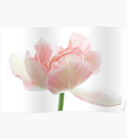Pale Tulip Poster