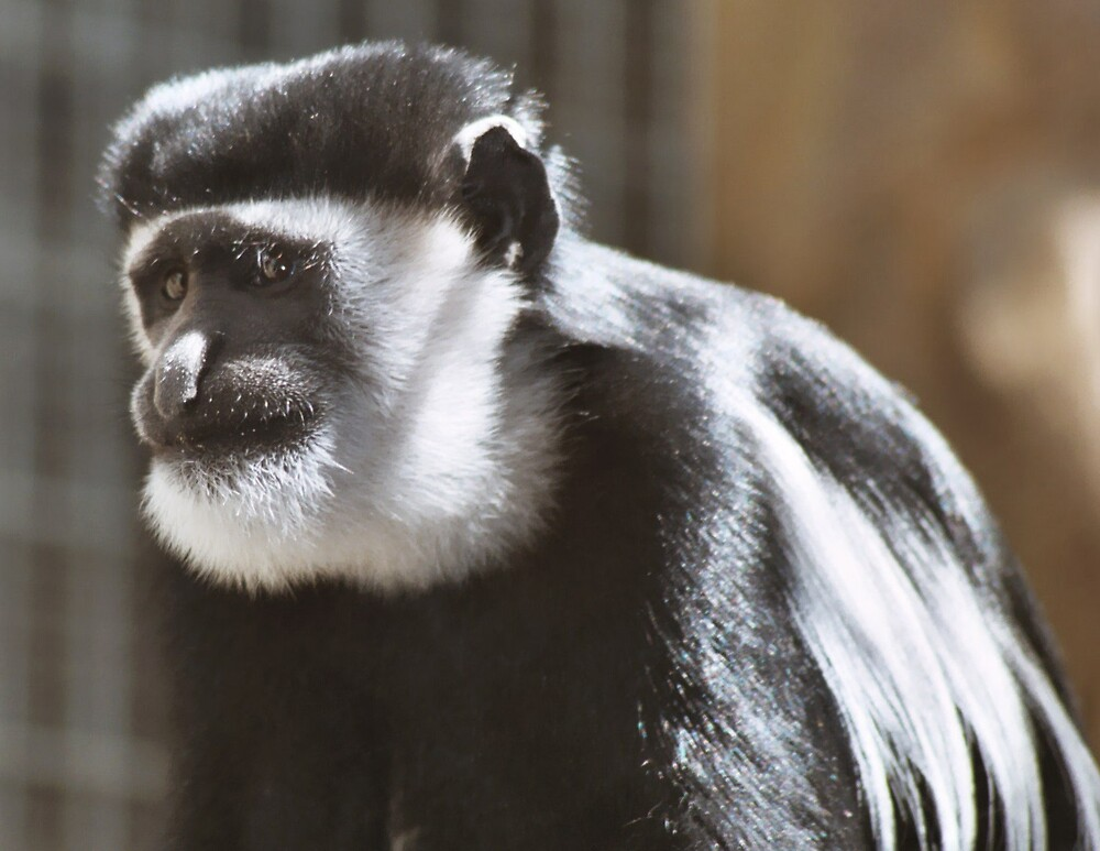 Colobus Monkey by wingsyves