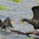 Squabbling cormorants by Anthony Goldman