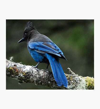 Steller's Jay, British Columbia's Bird Photographic Print